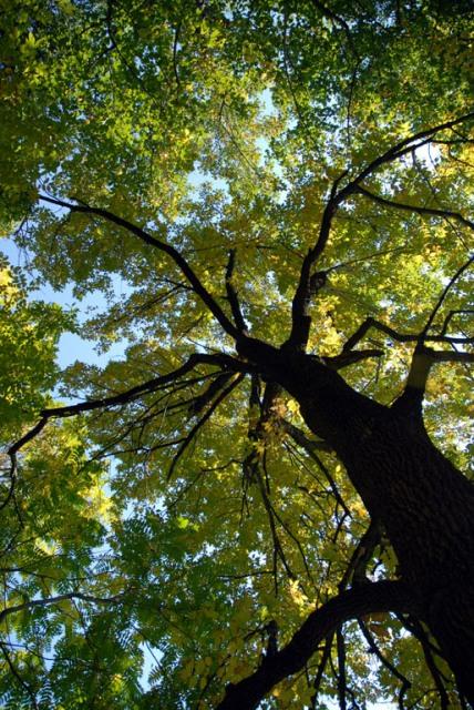 Walnut+tree
